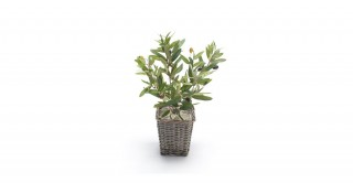 Olive 14Cm Potted Plant