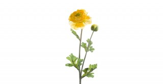 Ranunculus Yellow Spray