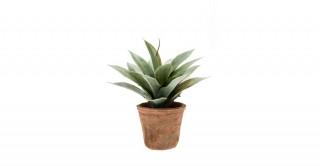 Agave 19Cm Potted Plant
