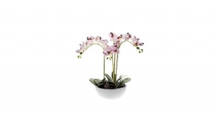 Phalaenopsis 60Cm Potted Flowering Plant
