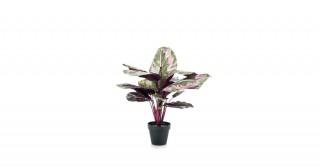Calathea 45Cm Potted Plant
