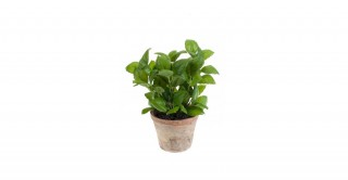 Basil 25Cm Potted Plant